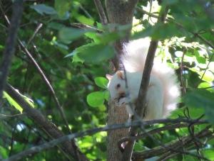 Penacook's Albino Squirrel