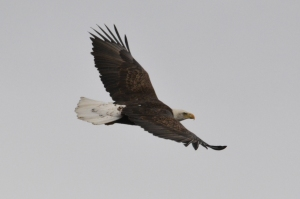 Sub-adult/4 year old - Banded Bald Eagle