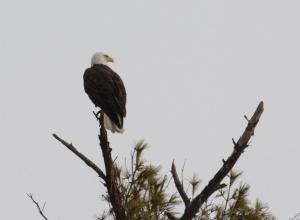 Bald Eagle (Orange A over 4)  2/1/14